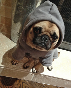 Zoe the pug in a hoodie