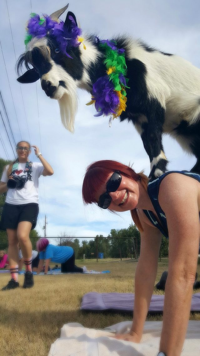 goat yoga goat on my back