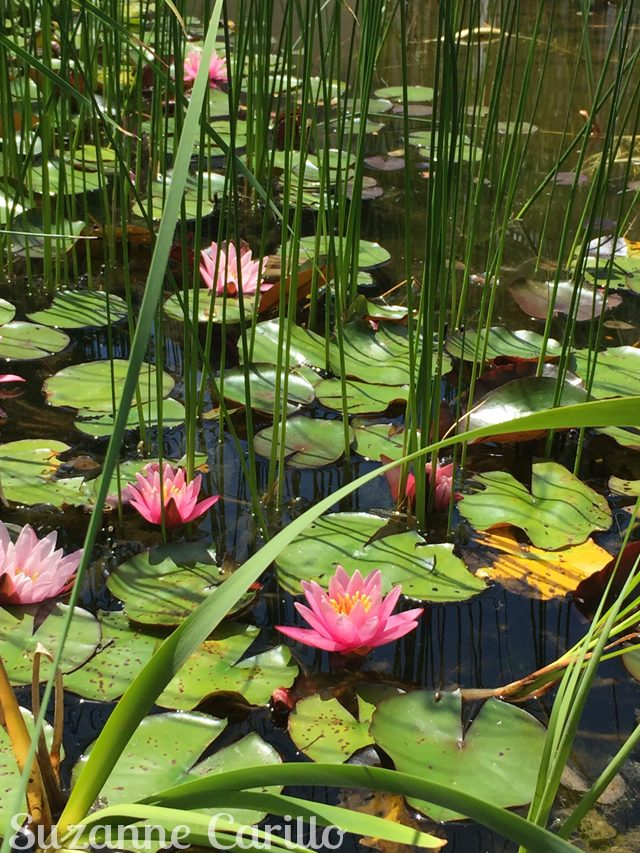 lilly pads suzanne carillo Exploring southern Ontario with friends.