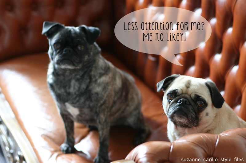 Two pugs faune and brindle pug suzanne carillo style files