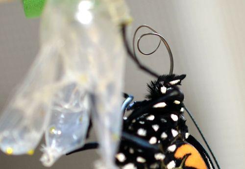 Monarch tongue detail