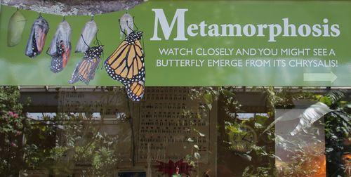 Metamorphosis butterflies